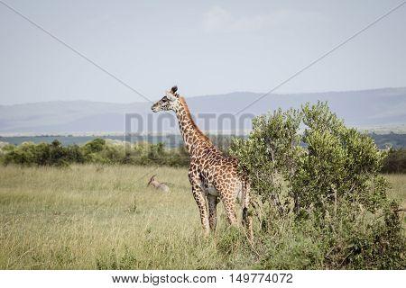 A big giraffe walks on the african savanna