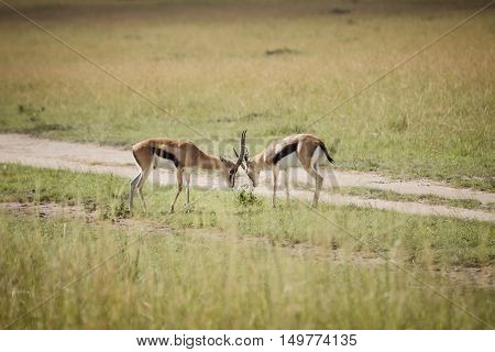 A group of antalope fight on the african savanna