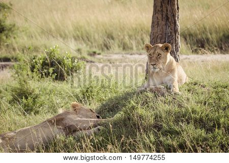 A lion relaxes on the african savanna
