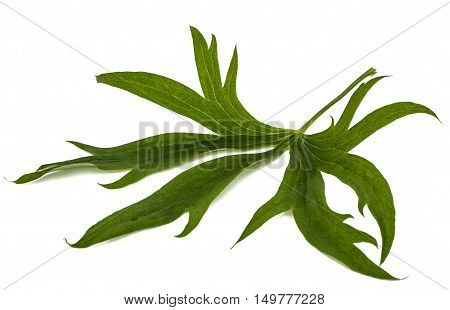 Leaf of Delphinium (Larkspur) close-up isolated on white background