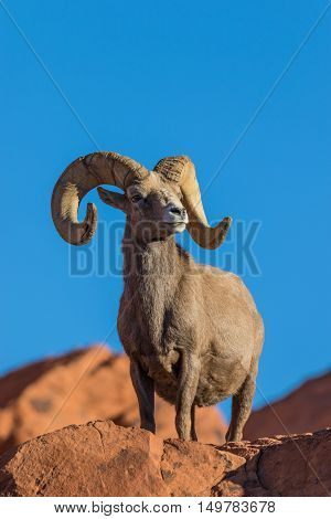 a full curl desert bighorn sheep ram in red rocks in nevada