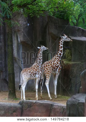 Mom and baby giraffe eating from tree covered rock outcropping