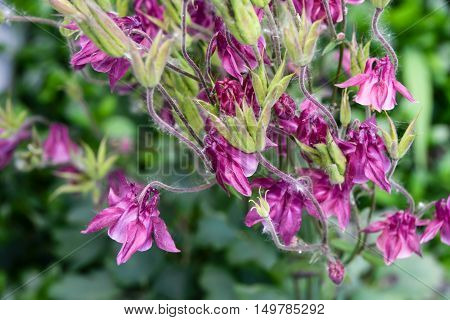 Aquilegia flowers lilac pink bush floriculture landscaping Blossom Flowering