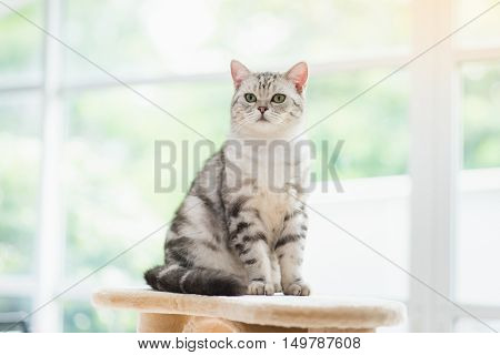 Cute American short hair cat sitting on cat tower