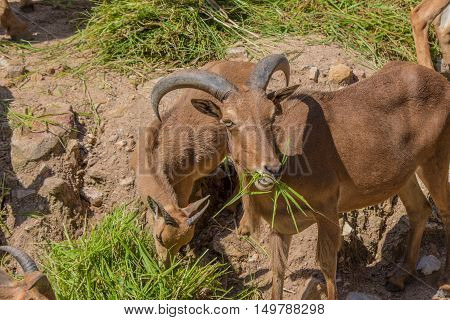 Barbary Sheep And Glass.