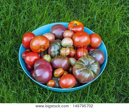 bowl of colorful heirloom tomatoes in a bowl fresh from the garden in the grass