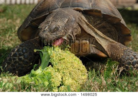 Tortoise Eating Broccoli, Front View
