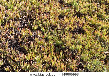 Leaves of the Ice plant, Carpobrotus edulis