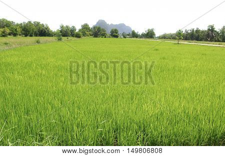 Landscape cornfield in the countryside Thailand white background