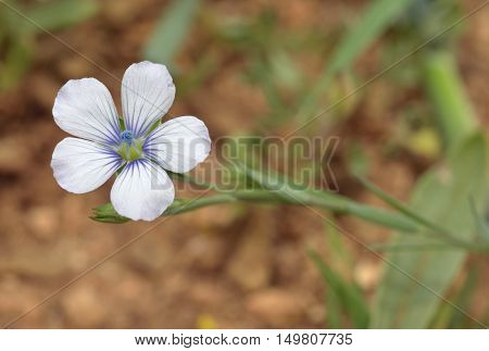 Pale Flax - Linum bienne Small Blue Mediterranean Flower