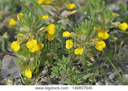 Ground-pine or Yellow Bugle - Ajuga chamaepitys Mediterranean Wild Flower