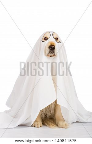 Golden Retriever dog dressed as a ghost
