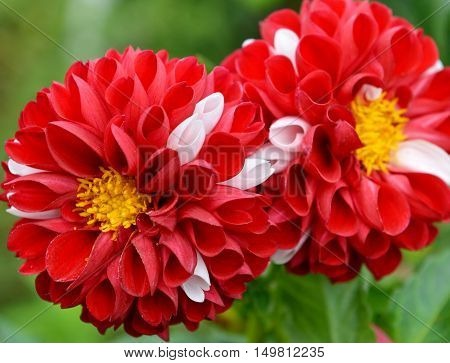Two beautiful red dahlia flowers in the garden, macro seasonal background. Nature in blossom