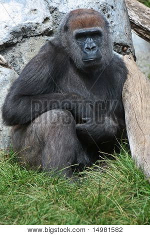 Gorilla in the grass