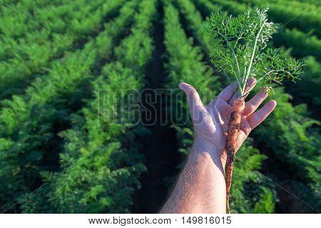 Hand Holding A Fresh Carrot. Carrot Field.