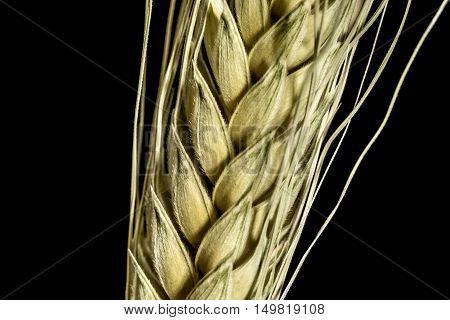 wheat ears studio macro closeup black background