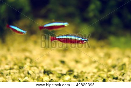 The cardinal tetra (Paracheirodon axelrodi) is a freshwater fish