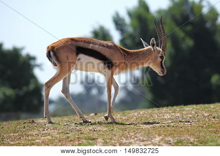 Young Thompson's Gazelle feeding in Ramat Gan Park Israel