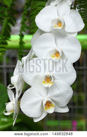 Beautiful white orchid flowers close up. Floral photo.
