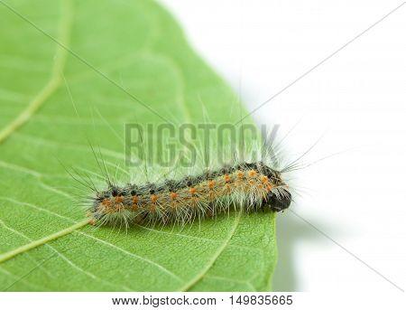 Vermin Moth Caterpillar