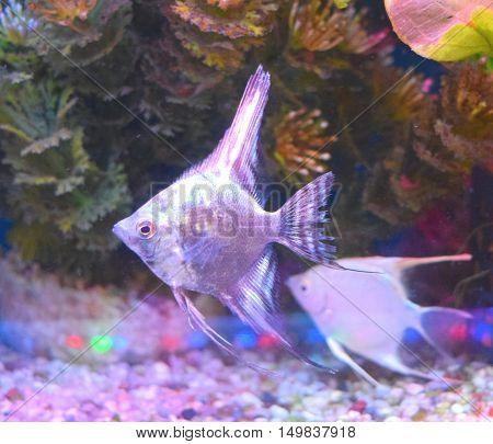 close up tropical smokey blue angle fish