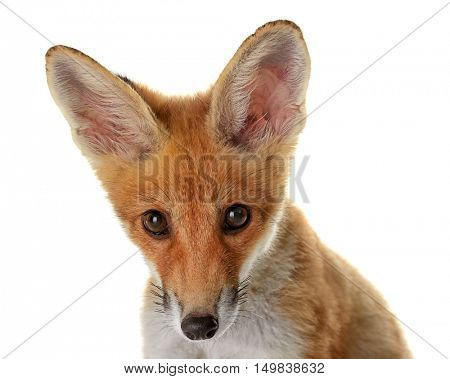 Portrait of cute little fox cub isolated on white