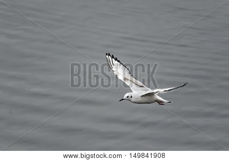 Bonaparte's Gull stands out against gray harbor water