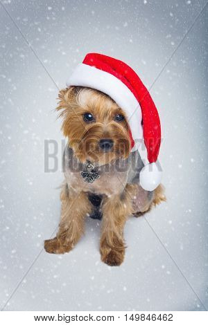 Adorable yorkshire terrier dog in red christmas santa hat sitting over snow background. Copy space.
