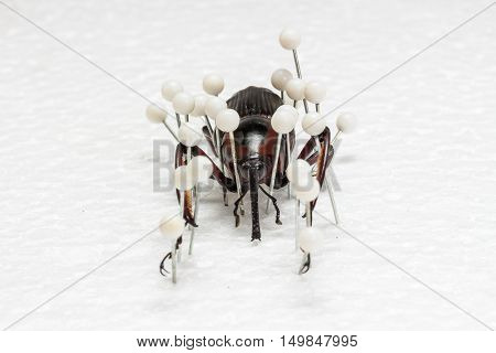 Dried Snout Beetle, Dry Preservation Snout Beetle