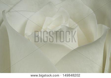 Big bud white rose in soft tones of rose petals.