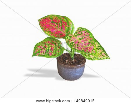 Aglaonema modestum in pot isolated.For the interior decoration.