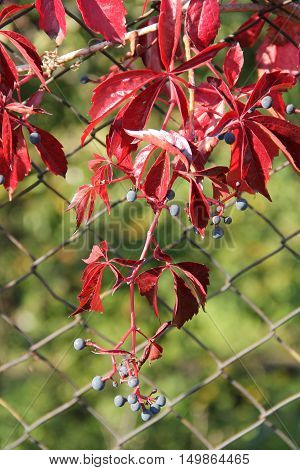 crimson leaves and blue fruits of woodbine growing on the fence