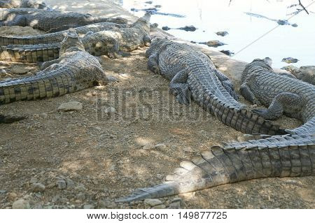 Nile crocodile (crocodylus niloticus) resting in a hot day