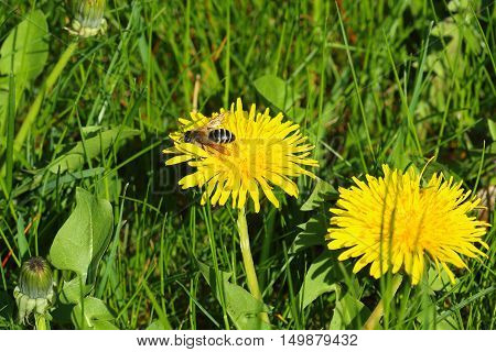 Small common wasp - Vespula vulgaris also known as European wasp on dandelion bloom Taraxacum flower in tall grass unmowed lawn