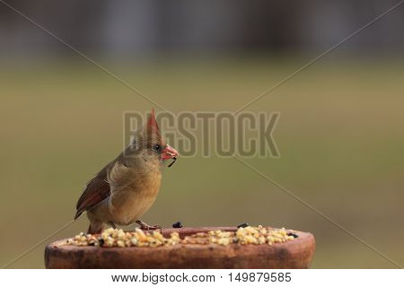 Female Northern Cardinal with Sunflower Seed Hanging from Beak