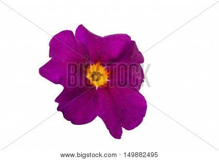 primrose florescence head flower isolated on white background