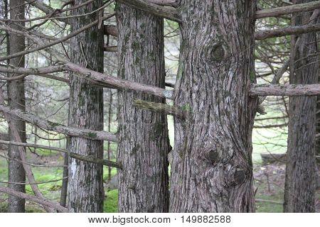 Northern White-Cedar (Thuja occidentalis) in the Upper Peninsula of Michigan