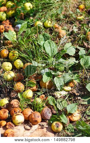 Many fallen apples in green grass rotten apples. Autumn nature background. Agriculture