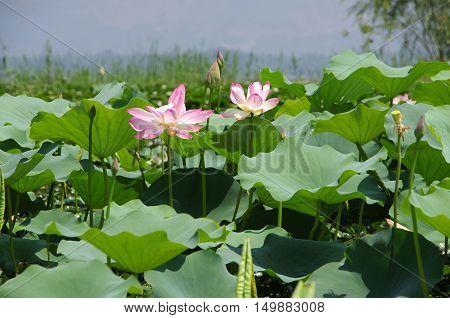 Lotus flower in Srinagar in Kashmir, India