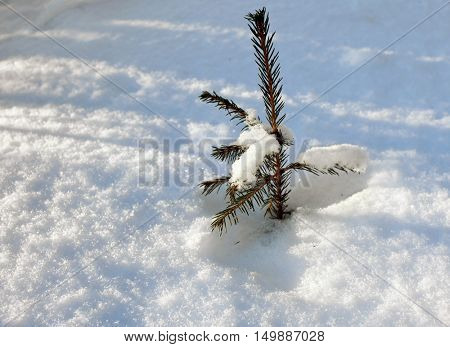 The young fur-tree in snow drift