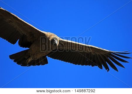 Young female andean condor flying very close. Colca canyon - one of the deepest canyons in the world near the city of Arequipa in Peru.