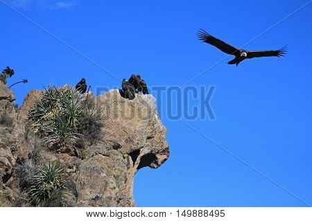 An andean condor is flying overlooking some others sitting on a rock. Colca canyon - one of the deepest canyons in the world near the city of Arequipa in Peru.