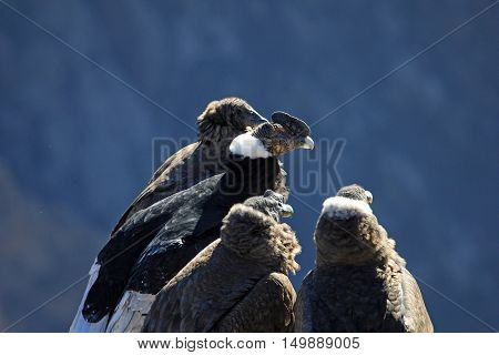 An andean condor family sitting there and waiting for the sun and thermic. From left to right: female and male adult male and female young. Colca canyon, one of the deepest canyons in the world.