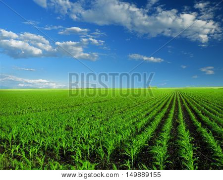 Cornfield with Clouds on Bright Summer Day