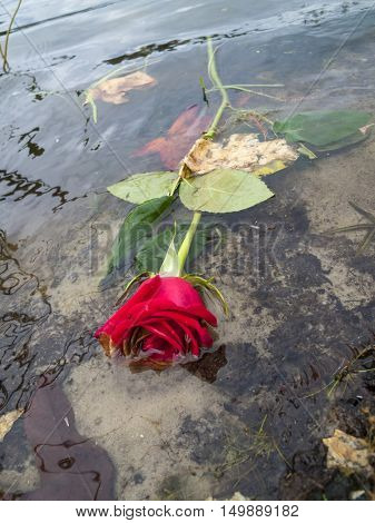 Concept photograph for broken heart failed romance relationship of dead red roses floating in a lake or river