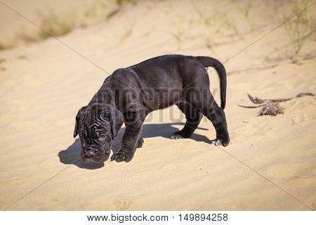 Beautiful young puppy italian mastiff cane corso (1 month) moves on the sand and sniffs all around.