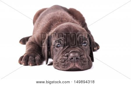 Sleeping young puppie italian mastiff cane corso (1 month) lying on white background.