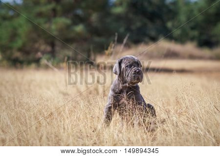 Beautiful young puppy italian mastiff cane corso in the dry grass in sunny day.