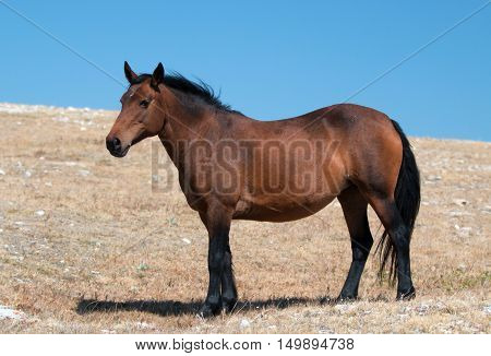 Wild Horse Mustang Bay Mare on Sykes Ridge in the Pryor Mountains Wild Horse Range in Montana - Wyoming US of A.