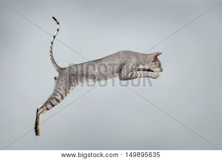 Jumping Peterbald Sphynx Cat, Hunting on White background